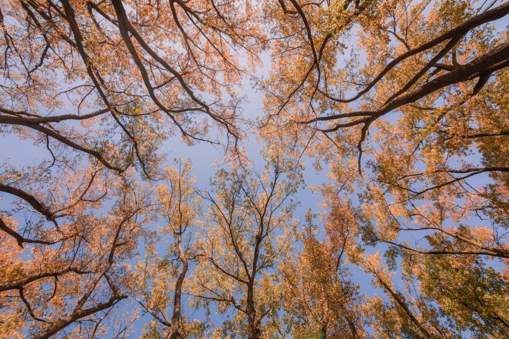 looking-up-at-fall-trees